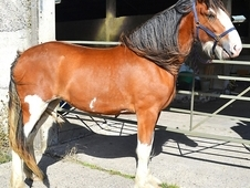 Clydesdale 2yr Filly