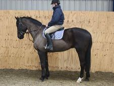 All Rounder horse - 12 yrs 16.1 hh Black - Cleveland