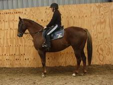 All Rounder horse - 6 yrs 15.2 hh Chestnut - Cleveland