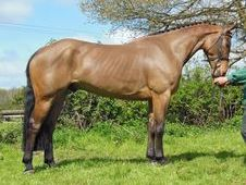 Sports Horses horse - 5 yrs 16.0 hh Bay - Kent