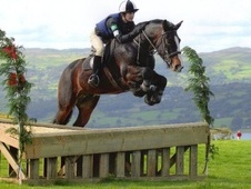 All Rounder horse - 10 yrs 14.3 hh Brown - Clwyd