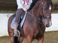 Lovely 16. 2hh 7 Year Old Bay Gelding