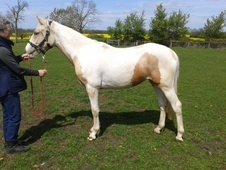 Sports Horse Filly to make 15h+