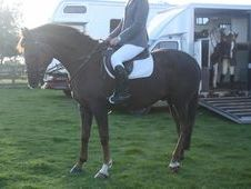 All Rounder horse - 12 yrs 15.3 hh Chestnut - Cleveland