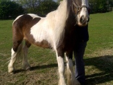 Young Stock  horse - 2 yrs 1 mth 14.0 hh Skewbald - Essex