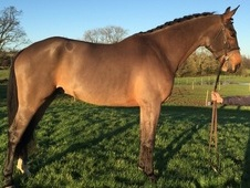 Wellington, 16. 2h, 6yo, gelding, by Renkum Off Centre/Animo