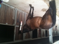 Home wanted for a Dutch Warmblood as a Broodmare