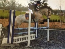 Show Jumpers horse - 7 yrs 14.1 hh Dun - Surrey