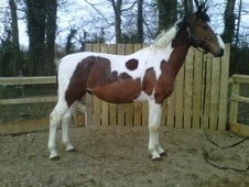 Riding Club Horses/Ponies horse - 1 yr 16.2 hh Bay - North Humber...