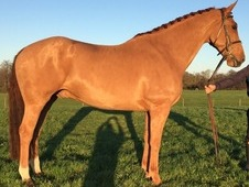 Buddy, 16. 1h, 8yo, Irish gelding