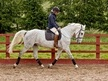 All Rounder horse - 7 yrs 11 mths 16.0 hh Dapple Grey - Lancashire