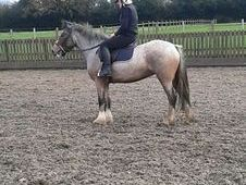 Princess 14. 1h Mare 5yrs £1995
