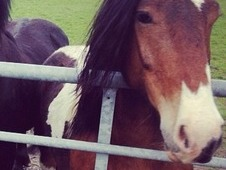 Coloured cob gelding available for part loan