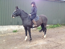 All Rounder horse - 10 yrs 15.2 hh Black - South Glamorgan