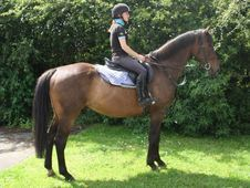 All Rounder horse - 10 yrs 16.2 hh Bay - Cleveland