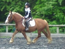 Driving horse - 8 yrs 14.2 hh Chestnut - Kent
