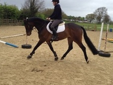 All Rounder horse - 5 yrs 6 mths 16.0 hh Bay - South Glamorgan