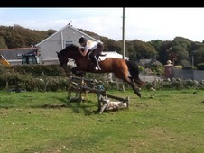 14hh Pony Club/alrounder Mare