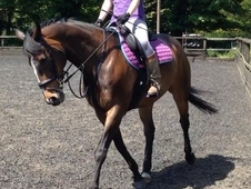 Handsome & kind 16. 1hh Bay Thoroughbred