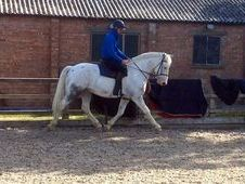 16. 1hh 8yrs Blue And White Appaloosa X Cob Gelding