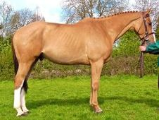 Show Jumpers horse - 9 yrs 16.2 hh Chestnut - Kent