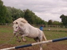 All Rounder horse - 6 yrs 12.0 hh Dapple Grey - Suffolk