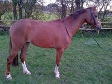 Showing horse - 5 yrs 13.0 hh Chestnut - Staffordshire