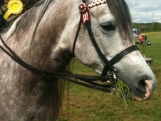 All Rounder horse - 6 yrs 15.1 hh Dapple Grey - South Glamorgan