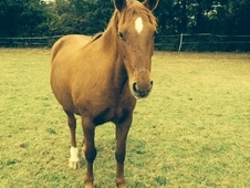 14. 2 Chestnut Mare For Sale