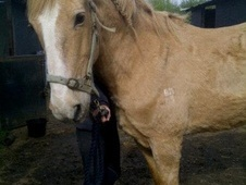 Light Hacks horse - 28 yrs 1 mth 16.2 hh Palomino - Essex