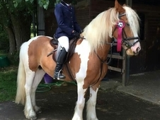 14. 2HH gypsy mare 6yrs all rounder