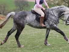 All Rounder horse - 7 yrs 11 mths 15.2 hh Dapple Grey - Derbyshire