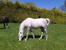 Arabs horse - 9 yrs 14.3 hh Grey - Middlesex