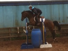 Show Jumpers horse - 4 yrs 2 mths 14.2 hh Bright Bay - Cumbria