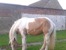 Hunters horse - 8 yrs 2 mths 15.3 hh Lemon & White - Wiltshire