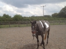 Fair Mix Grey Mare 4 Years Old