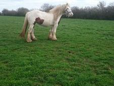 15hh chunky red and white mare in foal