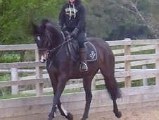 All Rounder horse - 9 yrs 15.3 hh Bay - Staffordshire