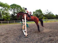 Unflappable TB gelding for fun rides and jumps