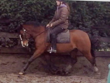 Stunning Registered Welsh Section C Gelding For Sale