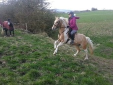 Coloured horse - 7 yrs 13.3 hh Lemon & White - South Yorkshire