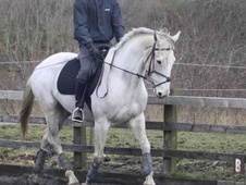 All Rounder horse - 12 yrs 16.1 hh Grey - Northumberland