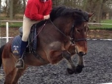 All Rounder horse - 5 yrs 6 mths 13.2 hh Bay - Surrey