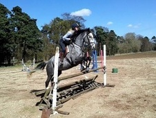 All Rounder horse - 6 yrs 1 mth 16.1 hh Iron Grey - Suffolk