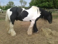 Coloured horse - 15 yrs 15.3 hh Piebald - Wiltshire