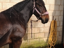 All-rounder-Irish cob gelding, 15.2 hh, 7 year old