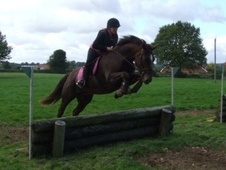 All Rounder horse - 9 yrs 15.3 hh Liver Chestnut - Kent