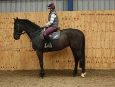 All Rounder horse - 12 yrs 16.2 hh Dark Bay - Cleveland