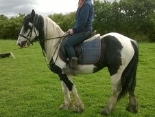 14hh Piebald Gelding. 5yr Old, Ideal Second Pony.