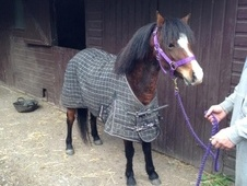 Showing horse - 3 yrs 11.2 hh Bay - Cheshire